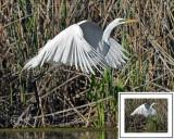 Great White Egret BRZ_0296