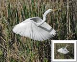 Great White Egret BRZ_0301