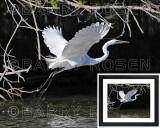 Great White Egret BRZ_0344