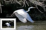 Great White Egret BRZ_0345