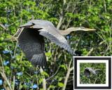 Great Blue Heron BRZ_0418