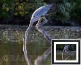 Great Blue Heron Feeding BSR_2510