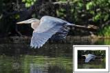 Great Blue Heron BRZ_0380