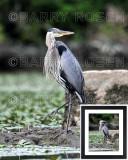 Great Blue Heron BSR_2025