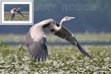 Great Blue Heron BSR_2043