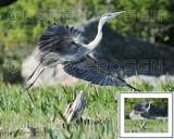 Great Blue Heron M13_1090