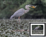 Great Blue Heron with fish M13_3947