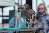 Afghan Hound Club AKC Agility Trial, March 28-29, 2015