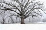 Large Tree in Winter