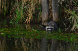 Raccoon at Elam Bend