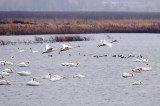 Trumpeter Swans at Squaw Creek