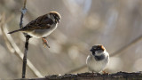 Resident Sparrows