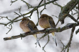 Young Doves