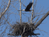 Eagle Takes Flight Above Nest