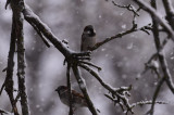 Sparrows Playing in the Snow