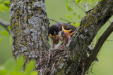 Baby Robins on a Nest