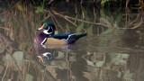 Wood Duck at Elam Bend