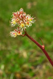 Leptarrhena pyrolifolia