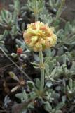 Eriogonum thymoides,