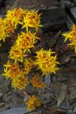 Sedum lanceolatum