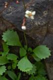 Micranthes lyallii