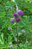 Cirsium edule