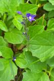 Veronica cusickii