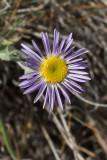 Erigeron corymbosus