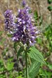 Agastache occidentalis