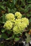Eriogonum compositum