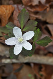 Anemone lancifolia