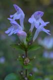 Clinopodium georgianum