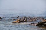 walrusmorse