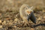 Red Fox - a threat to shorebirds nesting on the tundra