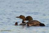 Common Loon with chicks, Anglin Lake, Saskatchewan