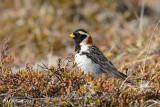 Lapland Longspur, male