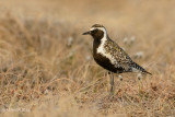 Pacific Golden Plover, male