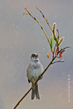 Golden-crowned Sparrow, singing in the rain
