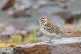 Lapland Longspur, Female