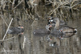 Pied-billed Grebe, juveniles with adult, Greenbryre, Saskatoon