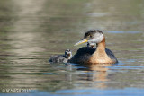 Red-necked Grebe, adult with juveniles, Lakeview Park, Saskatoon