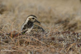 Pacific Golden Plover, female on nest