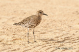 Pacific Golden-Plover showing signs of breeding plumage, Hawaii