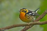 Warblers, Tyrranulet, Whitestart and Vireos