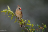 Northern Cardinal, female, Refugio, Texas