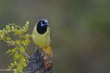 Green Jay, Refugio, Texas