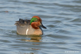 Green-winged Teal, Texas