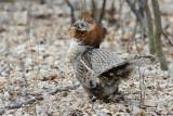 Male Ruffed Grouse in full mating display, Pike Lake