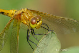 Dragofly
