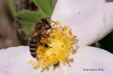Honey Bee (I think)
